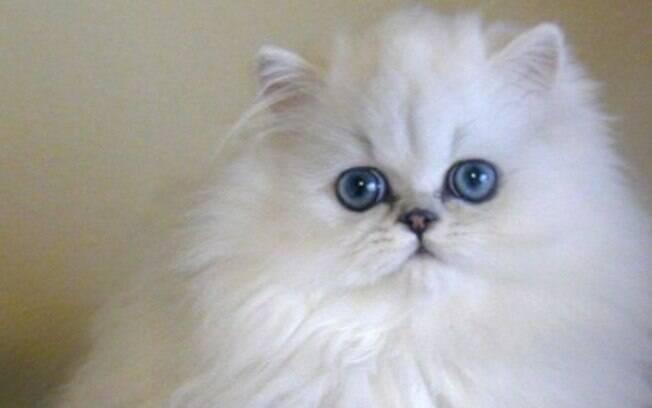 O nariz achatado dos gatos persa é algo recente