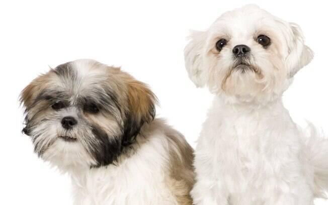 Shih Tzu (à esquerda) e Lhasa Apso (à direita) são raças de cães do Tibet, mas apresentam algumas diferenças cruciais na personalidade