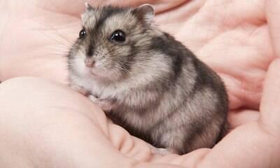 Hamster pode tomar banho? Confira mitos e verdades