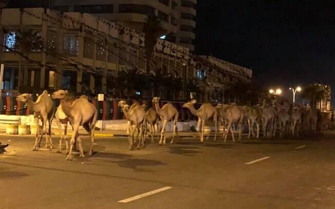 Camelos atravessando as ruas da Líbia
