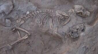 1.400 cães enterrados no império persa intrigam arqueólogos