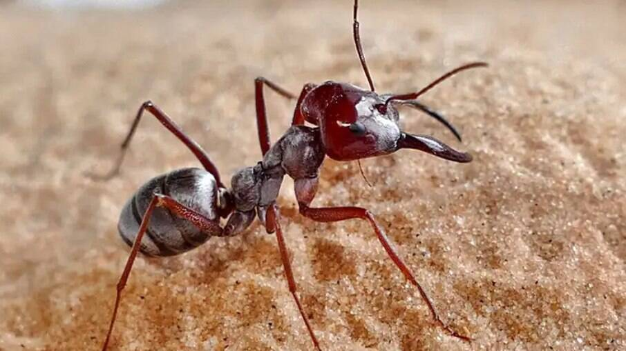 Formiga recebe nome científico neutro