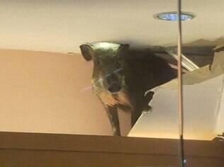 Após cair do teto, animal foi tranquilizado e encaminhado a uma clínica de Hong Kong