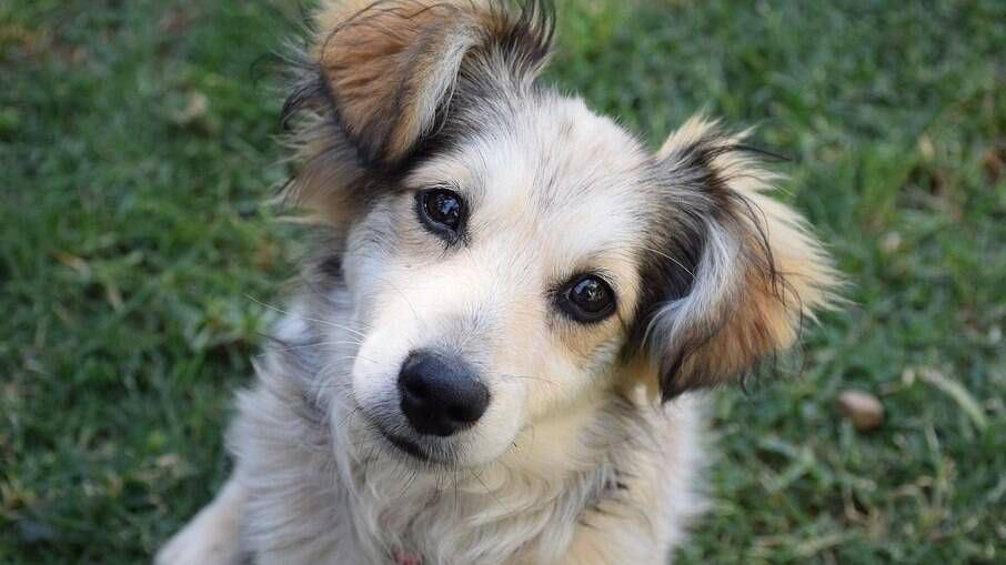O Kokoni é conhecido como cão da cara feliz