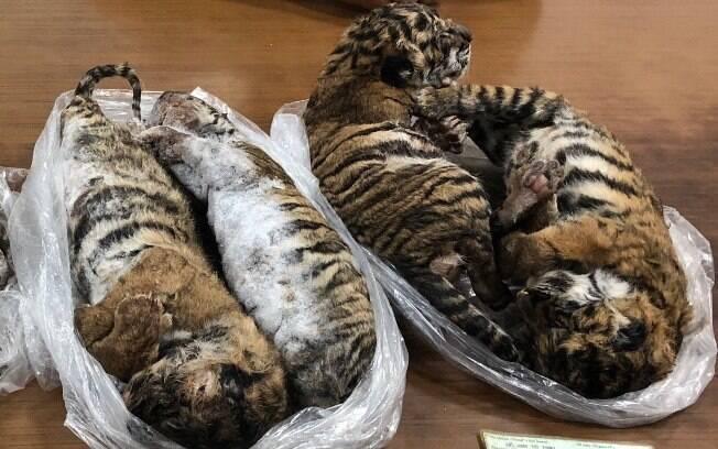 Sete tigres congelados foram encontrados dentro de um carro em Hanói, no Vietnã.