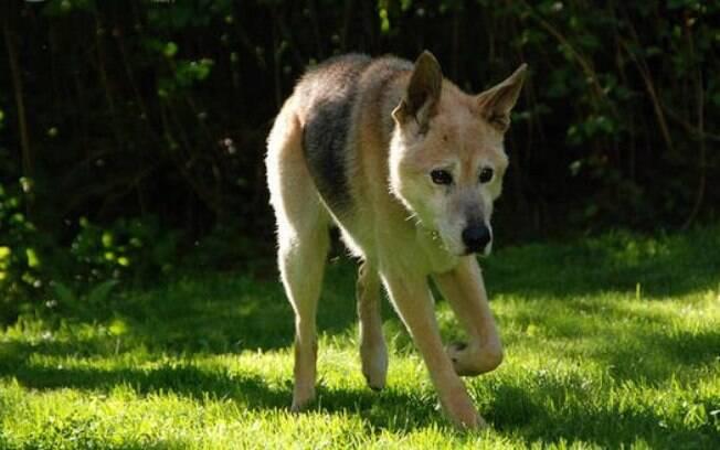 Cães logo no início da vida podem ser afetados por esse problema