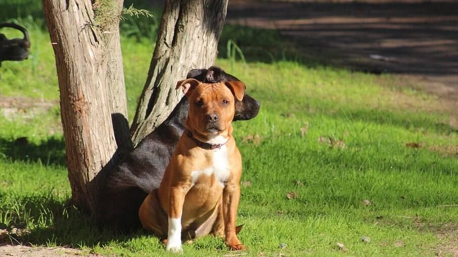 Pitbulls estão entre as raças mais comuns entre os cães considerados atletas