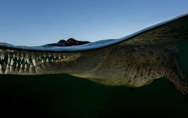 Crocodilo na superfecíe