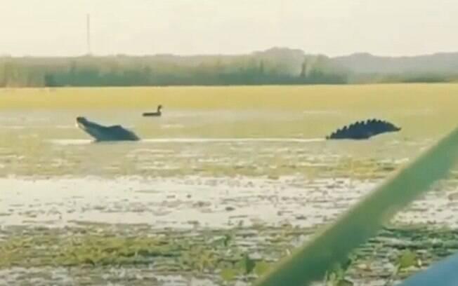 Animal foi flagrado enquanto se alimentava em um lago na Flórida