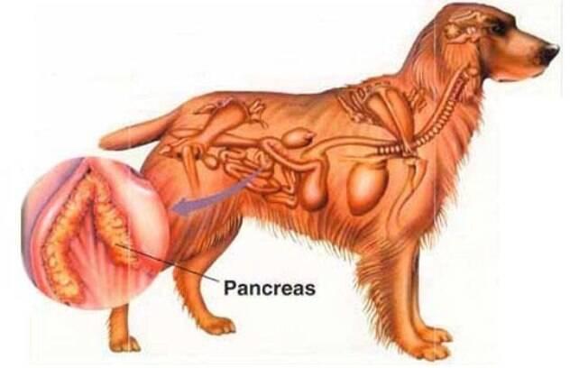 Essa doença inflamatória que atinge o pâncreas do animal pode ser bastante dolorosa