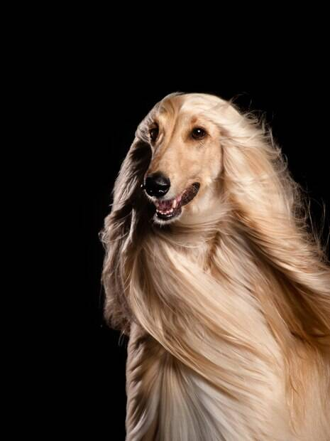 Cãozinho de grande porte com pelos lisos e sedosos
