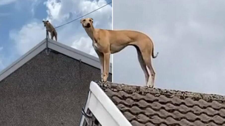 Este cachorro chamou a atenção por ficar em telhados
