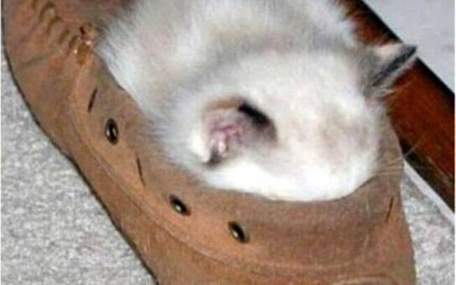 Um gato dormindo confortavelmente num sapato.