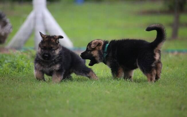 Convivência entre cães pode começar com a apresentação dos filhotes