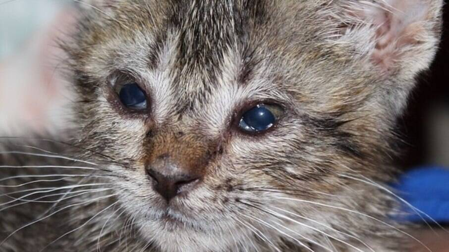 A gripe felina pode afetar a área ocular do felino e evoluir para uma conjuntivite