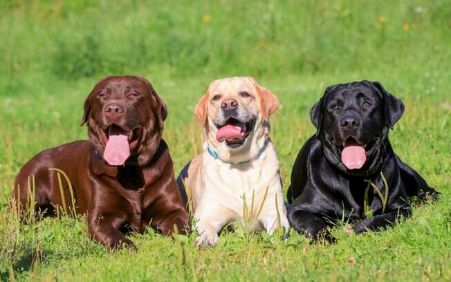 A cor do seu Labrador pode influenciar na saúde dele