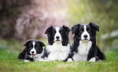 Tudo que você precisa saber sobre os cães pastores