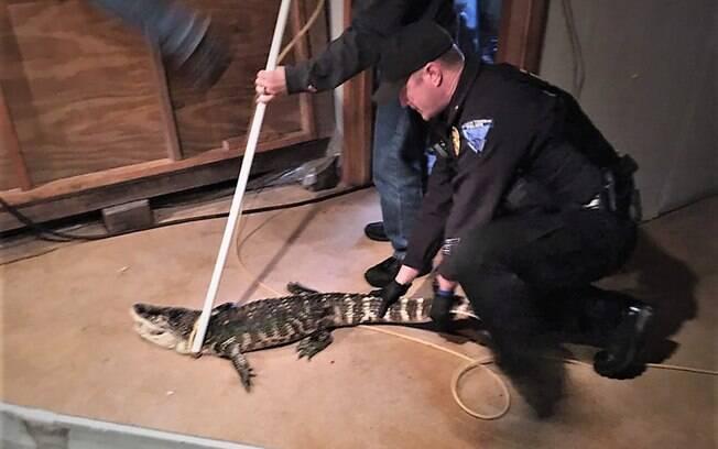 Crocodilo capturado viva em porão há 25 anos