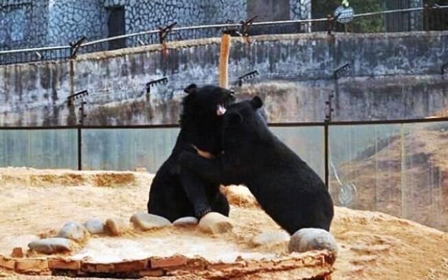 Casal de ursos brincando. Eles foram adotados por agricultor chinês que achou que eles eram filhotes de cachorro.