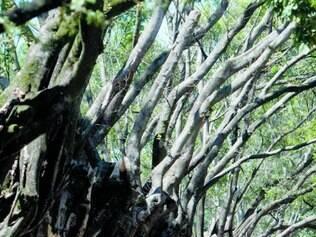 Cenário. Árvores da Bernardo Monteiro (foto) e Barbacena sofreram podas depois de infestação da mosca-branca