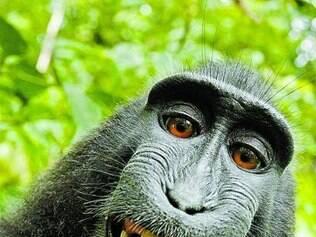 """Polêmica inusitada  Selfie de macaco gera briga de direito autoral A organização sem fins lucrativos por trás da Wikipedia, Wikimedia, se negou a retirar a imagem de um macaco de seu banco de dados, mesmo após o fotógrafo que era dono da câmera ter feito o pedido. De acordo com a Wikimedia, como não foi o fotógrafo, e sim o macaco, que clicou o retrato, a imagem pode ser distribuída gratuitamente sob licença creative commons. Já o fotógrafo, David Slater, afirma que ele deve receber direitos autorais. A imagem foi feita quando Slater, um britânico, estava na Indonésia, em 2011. Ele tentava fotografar um exemplar da espécie  Macaca nigra  quando o próprio macaco tirou a câmera de suas mãos e tirou um selfie – com sorriso e tudo. """"Como o som do clique chamou a atenção deles, os macacos continuaram clicando e brincando com meu equipamento"""", afirma Slater."""