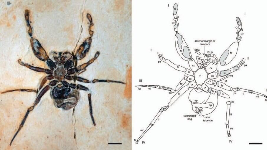 Cretapalpus vittari viveu na terra a 122 milhões de anos e fóssil pode ter saído do Ceará de forma irregular
