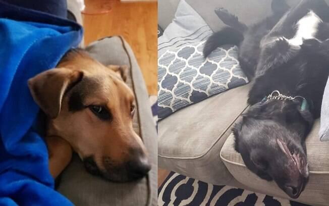 Cães depois de destruir almofada