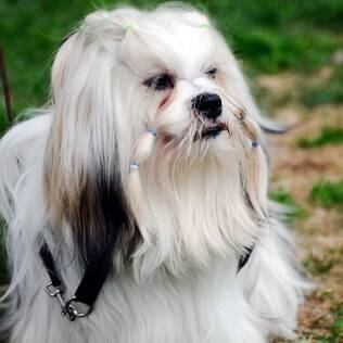 Lhasa Apso - undefined