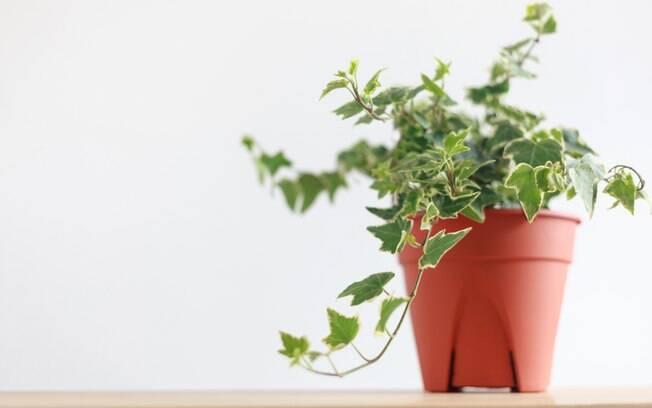 Com folhas pequenas e bem desenhadas, a Hedera Helix é mais uma opção que você pode adotar em casa