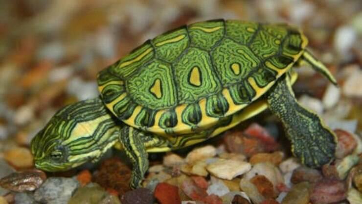 Aprenda a cuidar de uma tartaruga aqu tica em casa for Tartarughe di mare domestiche