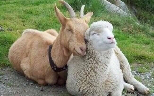 Uma ovelha e um cabrito sorrindo num love bacana.