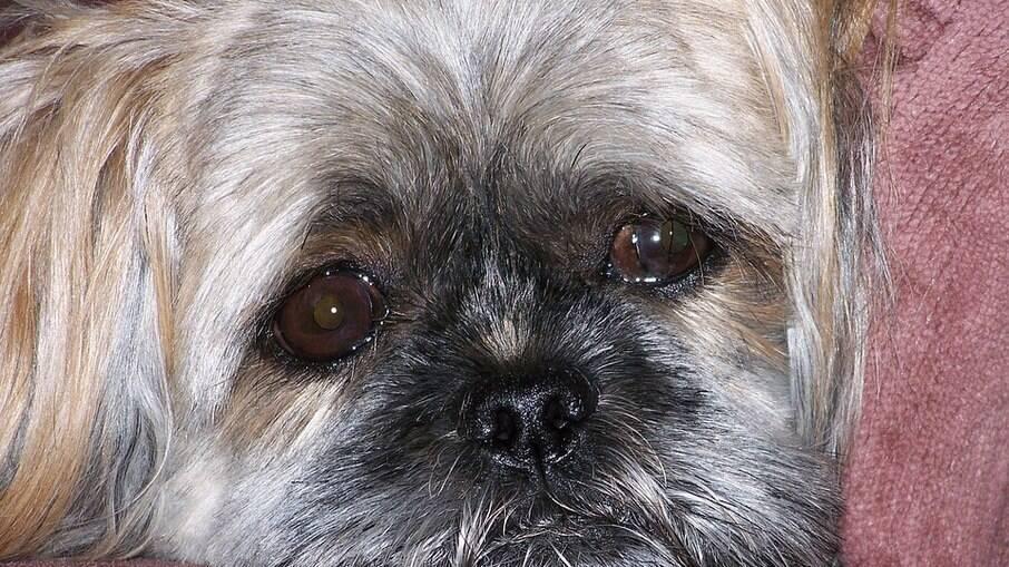 A região dos olhos desses animais merecem atenção especial por parte dos tutores