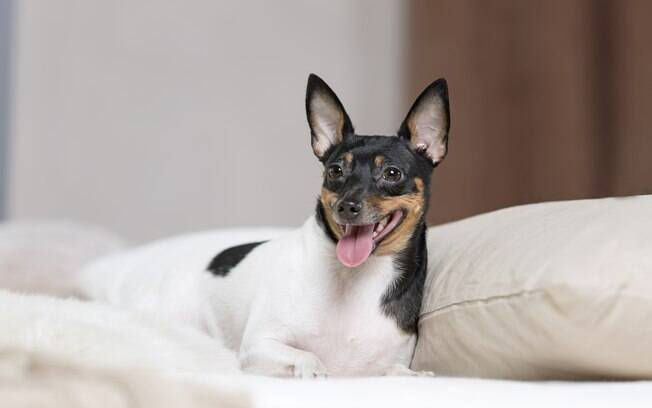 O toy fox terrier faz parte das raças do Grupo Toy