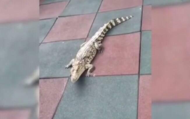 O crocodilo era criado como um animal doméstico e, ao fugir de seu apartamento, entrou na creche