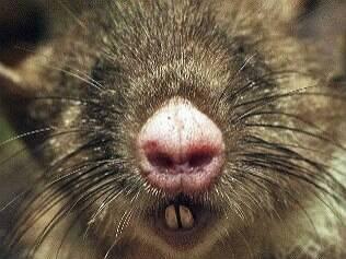 Grupo acha rato com nariz de porco