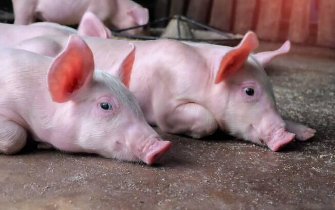 Desde 1984 o Brasil não tem nenhum caso de peste suína