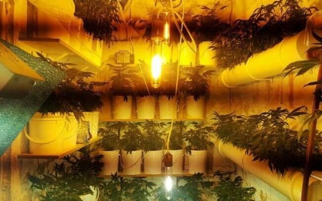 Clube produz 10 variedades diferentes de maconha; governo permite cultivo de apenas 99 plantas