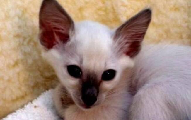 Gato Javanês é um dos mais apropriados para quem tem alergia, já que não libera a enzima responsável pela reação