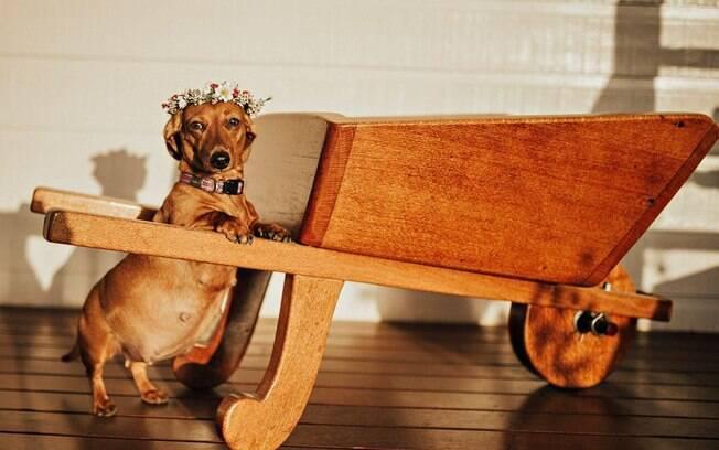 Cadelinha da raça dashshund ganha um lindo ensaio fotográfico feito pela sua dona