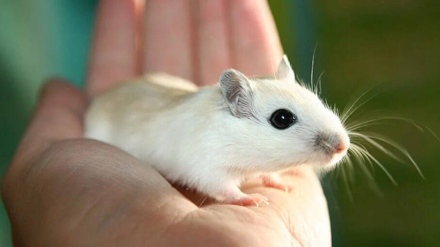 Peça a orientação de um veterinário para o manuseio adequado do seu roedor