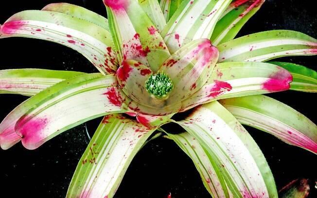 As bromélias são flores que desabrocham no verão