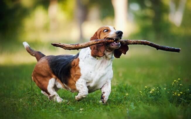O Basset Hound foi um cruzamento seletivo que se especializou na caçada de coelhos e lebres