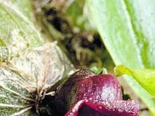 Espécie de orquídea foi encontrada em expedição em 2013