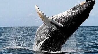 Homem sobrevive após ser cuspido por baleia nos EUA