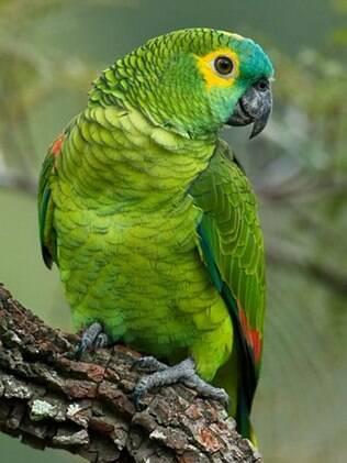 O papagaio é uma ave silvestre