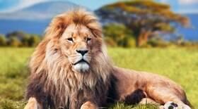 Leão é um dos animais mais preguiçosos do mundo