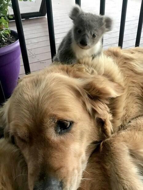 Golden Retriever resgata filhote de coala abandonado e leva para sua casa na Ausatrália
