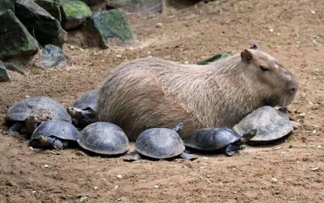 Uma capivara rodeada por tartaruguinhas.