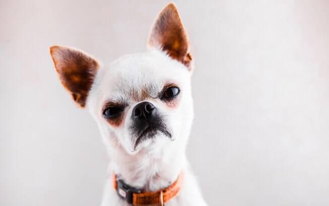 Na última semana, um pequeno Chihuahua foi o herói da vizinhança após impedir um possível assalto. Mesmo com seu tamanho diminuto, conseguiu fazer o ladrão fugir correndo