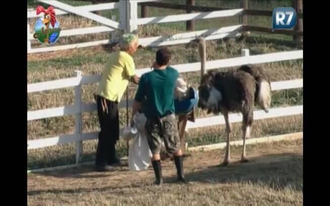 Gui ajuda Marlon com os avestruzes